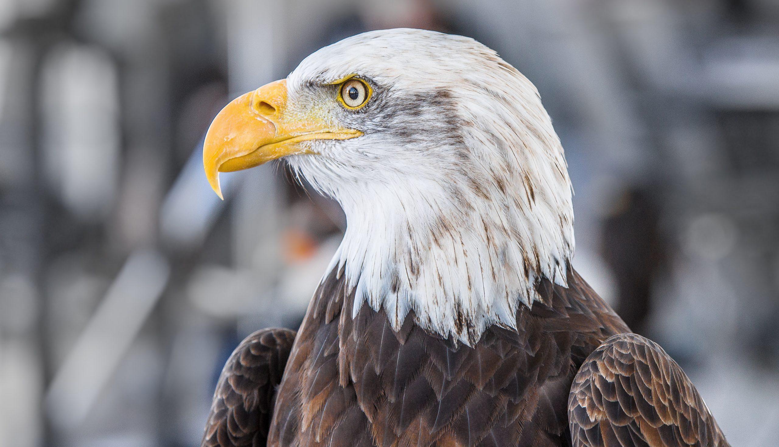 focus-eagle